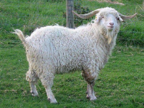 Рога козлов скручены винтообразно, между тем как у коз они в большинстве случаев концами расходятся и отогнуты назад