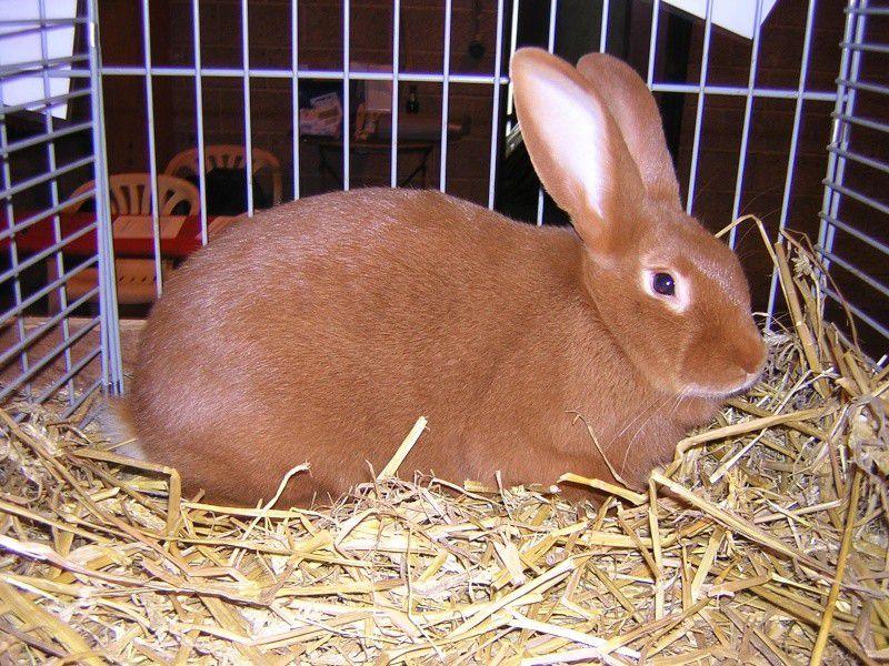 Родившийся в осенне-зимний период бургундский кролик имеет более плотный подшерсток
