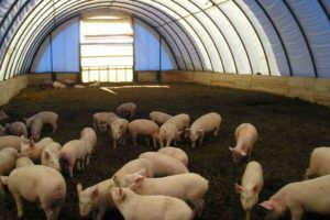 Свиноводство как отрасль