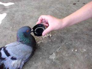 Симптомы глистов у голубей