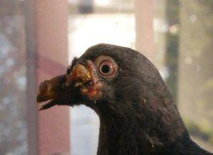 Симптомы оспы у голубей
