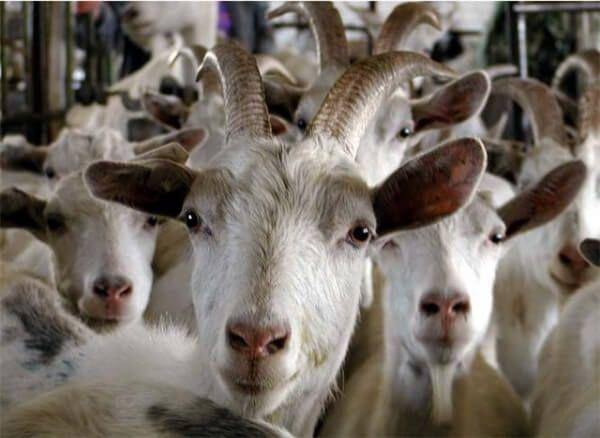 Содержание и разведение коз как бизнес