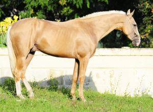 Соловая ахалтекинская лошадь