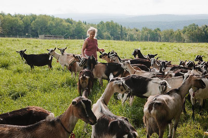 Стадо альпийских коз