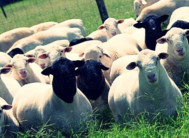 Стадо овец породы дорпер