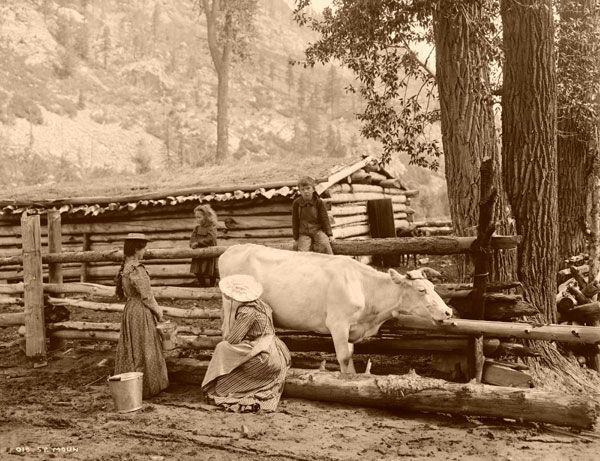 Старинное фото - доение коровы вручную