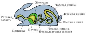 Схема строения пищеварительной системы кролика