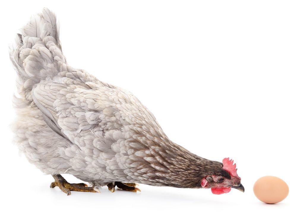 С момента снесения первого яйца рацион несушки необходимо изменить