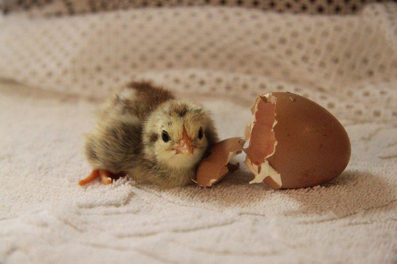 Только что  вылупившимся цыплятам не дают пробиотики