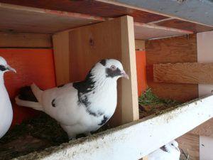Условия содержания бакинских голубей
