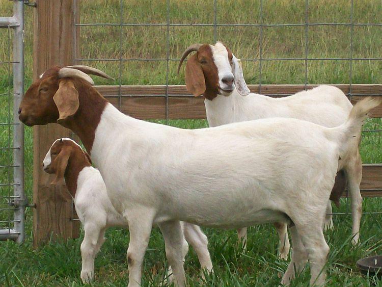 У бурских коз хорошо развита мускулатура