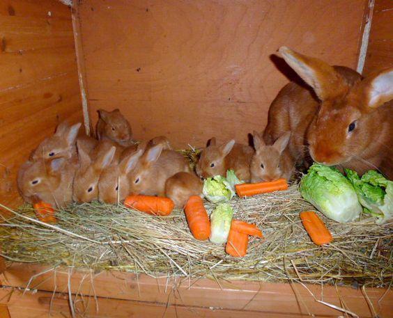 У здоровых бургундских кроликов хороший аппетит