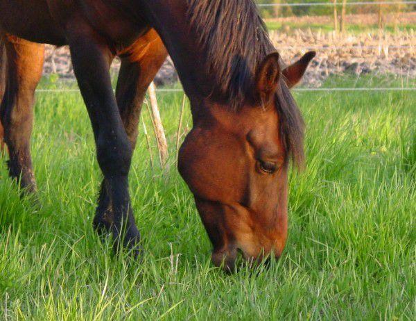 Рабочим башкирским лошадям необходим десятиминутный перерыв каждые 50 минут для подкормки