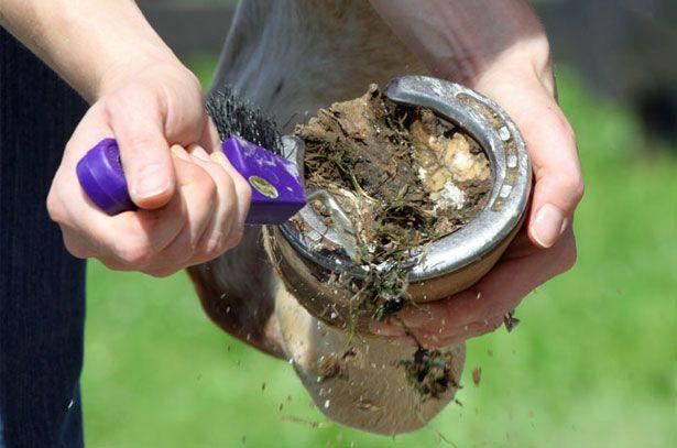 Очистите копыта с помощью специального крючка