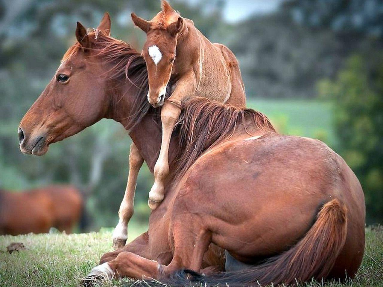 По мнению ветеринаров, жеребчики башкирских лошадей рождаются позднее кобылок