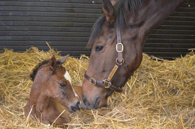 Чтобы выносить здоровое потомство, лошадь нужно перевести на сбалансированное питание