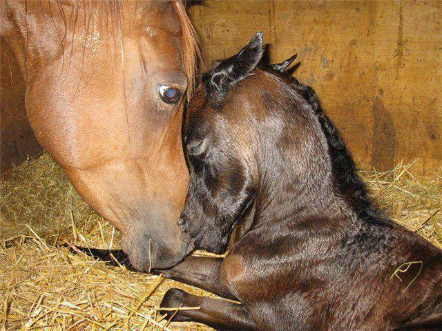 Башкирские лошади жеребятся весной