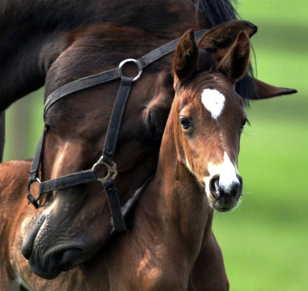 До семимесячного возраста башкирские жеребята питаются материнским молоком
