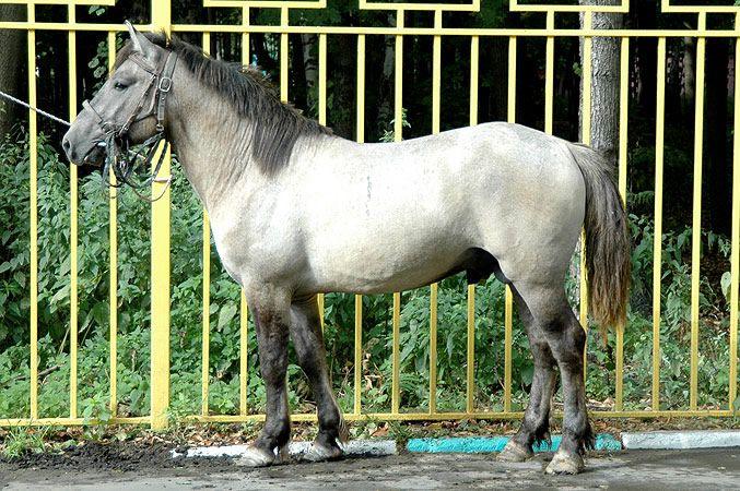 Породная башкирская лошадь имеет крупную голову и длинный пушистый хвост