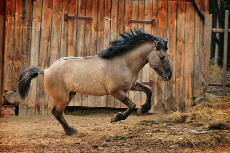 Лошади башкирской породы выносливы и хорошо обучаемы