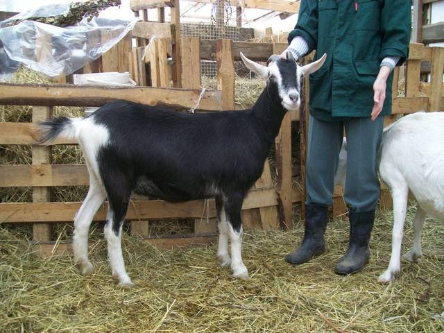 Цена альпийской козы в России варьируется от 15 до 50 тыс. р.