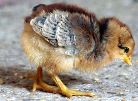 Цыпленок породы Билефельдер