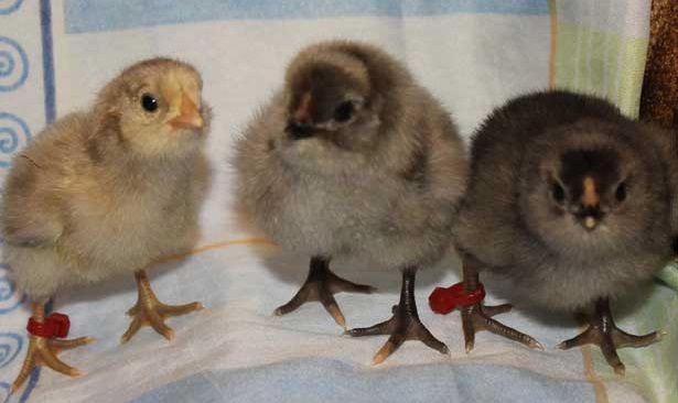 Цыплята породы Араукана