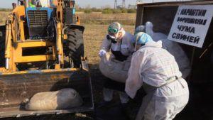 Утилизация тел пораженных свиной чумой