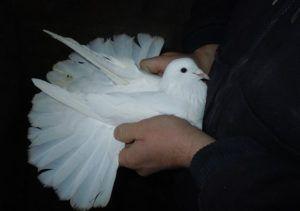 Широкохвостые Бакинские голуби