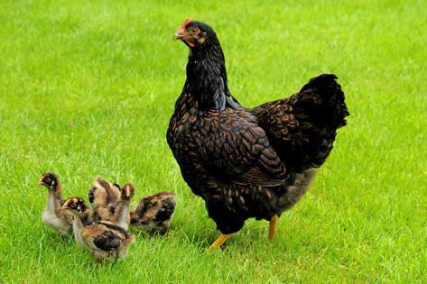Курица Барневельдер с цыплятами