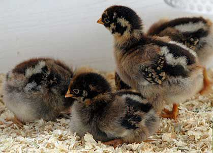 Цыплята Барневельдер в курятнике