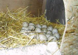 Яйца башкирской утки