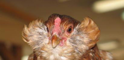 Вариант экстерьера курицы Араукана