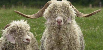 Самец и самка ангорской козы