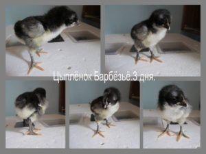 Новорожденные цыплята барбезье