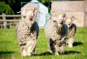Особи кемельских коз
