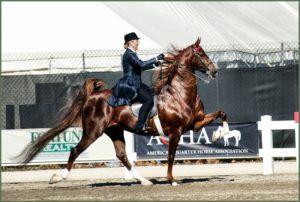 Экстерьер Американской верховой лошади