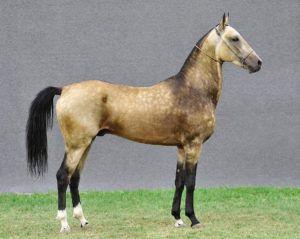 Ахалтекинская лошадь, как и любая другая, требует регулярного кормления