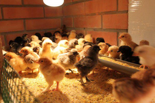 Цыплята Билефельдер в инкубаторе