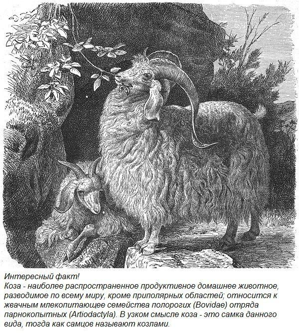 Интересный факт о козах