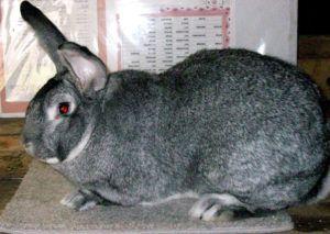 Взрослая особь кролика
