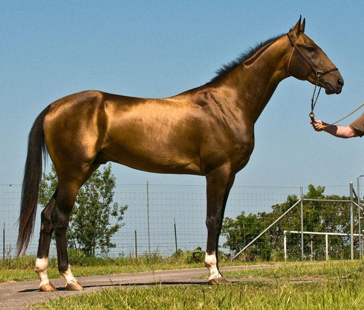Ахалтекинская гнедая лошадь