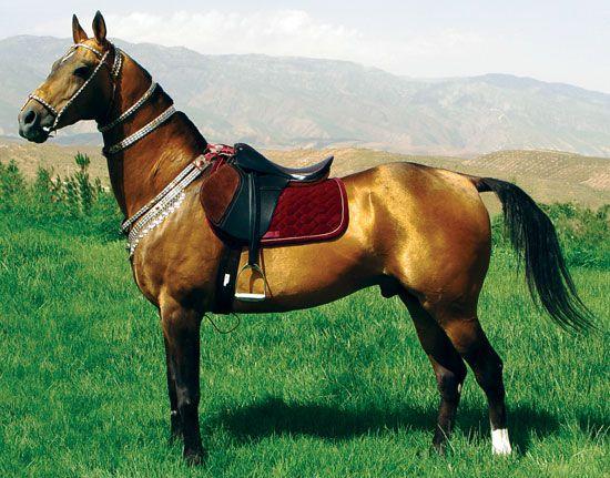 Ахалтекинская лошадь буланой масти