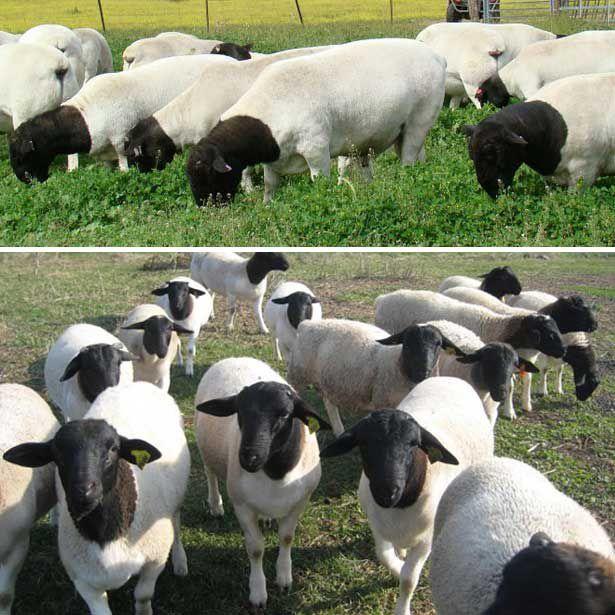 На фото овцы породы дорпер