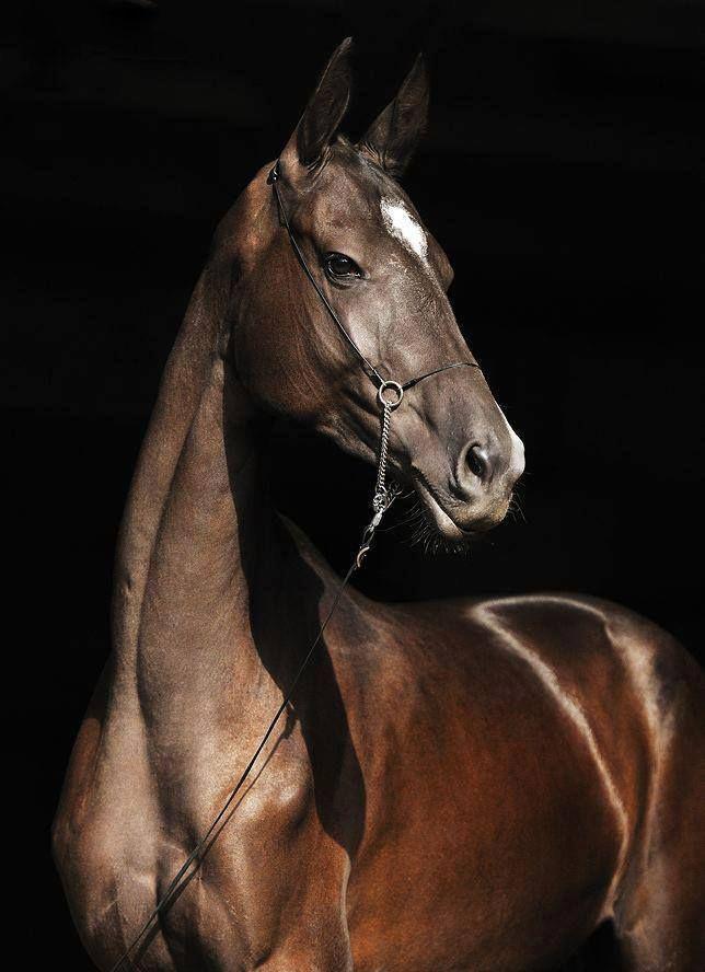 Ахалтекинская лошадь гнедой масти