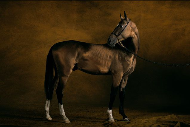 Удивительная ахалтекинская лошадь