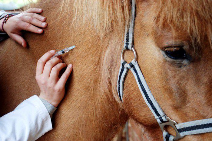 Лошадям препарат вводят внутривенно