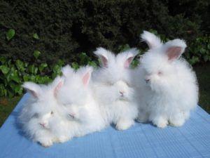 Разведение ангорских кроликов