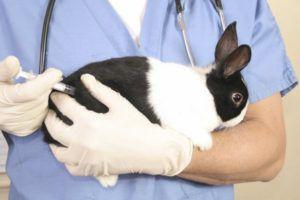 Как делать инъекцию молодым кроликам