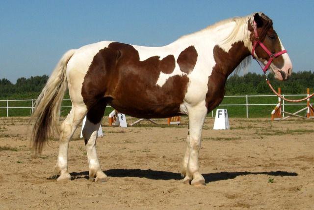 Пегая башкирская лошадь встречается довольно редко